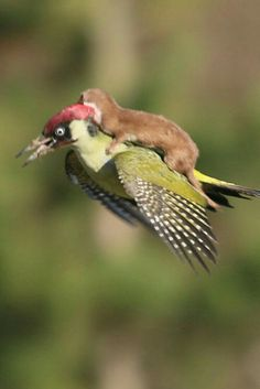 Baby weasel getting a free ride on a woodpecker