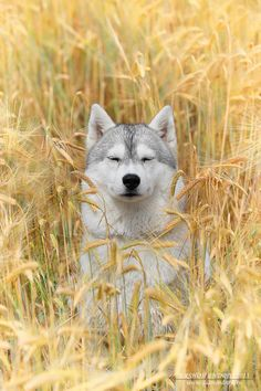 Oh, look, Wendy's pretending to be a Wolf in the Wheat Field again...   ~~ Houston Foodlovers Book Club