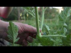 Közösségi Kertek - A paradicsom kacsolása - YouTube Herbs, Garden, Plant, Garten, Lawn And Garden, Herb, Gardens, Gardening, Outdoor