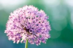 Allium or the onion flower, coming in to season in Spring time in Cape Town, available in white and purple