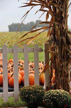 Pumpkins inside the fence