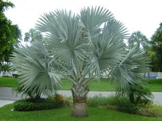 bismarck palm tree | Bismark Palm (Bismarckia nobilis)
