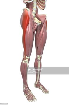 An anterolateral view (right side) of the muscles of the lower body relative to the skeleton. The tensor fasciae latae muscle and the iliotibial tract is highlighted. Leg Anatomy, Human Anatomy, Thigh Muscle Anatomy, Hip Muscles Anatomy, Psoas Muscle, Muscle Pain, Leg Pain, Back Pain, Foot Pain