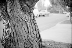 Oldest Tree  January 7, 2012  Leica M7  In our neighborhood.