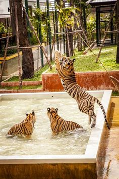 Tiger Kingdom, Phuket, Thailand.