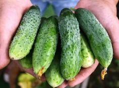 Secretele unei recolte bogate de castraveți! - Retete Usoare Growing Gardens, Cucumber, Vegetables, Food, Gardening, Country, Plant, Lawn And Garden, Rural Area