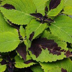 Chocolate Splash coleus seeds - Garden Seeds - Annual Flower Seeds