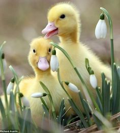 Ducklings...