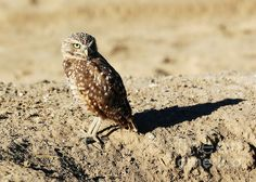 "This Burrowing Owl was giving me some serious ""side eye"" in central Washington.   ""Burrowing Owl Side Eye"" - Copyright: Carol Groenen  #burrowingowl #burrowingowls #owls #owl #bird #birds #sideeye #nature"