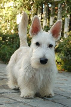 either a Scottie or Westie. Scottish Terrier Puppy, Terrier Dogs, I Love Dogs, Cute Dogs, Animals And Pets, Cute Animals, Wild Animals, Baby Animals, Dog Names