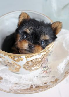 Discover The Tenacious Yorkshire Terrier Pup Grooming Teacup Puppies For Sale, Cute Puppies, Cute Dogs, Dogs And Puppies, Corgi Puppies, Teacup Dogs, Dogs 101, Yorkies, Havanese Dogs