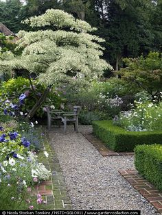 "Cornus controversa Variegata (""Wedding Cake Tree"") Sun or partial shade in well-drained soil. South/North/East/West facing."