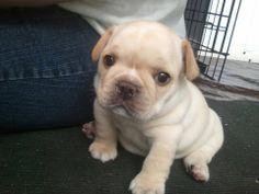 Henry, the French bulldog.