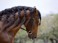 Google Image Result for http://cache2.allpostersimages.com/p/LRG/21/2144/FXBCD00Z/posters/walker-carol-bay-andalusian-stallion-with-plaited-mane-and-bridle-austin-texas-usa.jpg