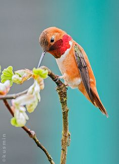 Rufous hummingbird (selasphorus rufus) by punkbirdr (looks orange on my computer!)