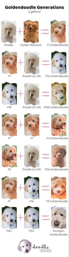 Mini Goldendoodle Puppies, Goldendoodle Full Grown, Goldendoodle Grooming, Shiba Inu, Baby Animals, Cute Animals, Pet Dogs, Pets, Doggies