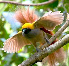 Goldie's Bird-of-paradise (Paradisaea decora)
