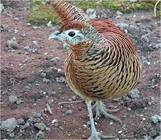 Lady Amherst Pheasant (Chrysolophus amherstiae)