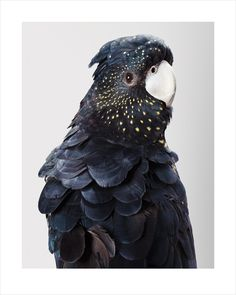 Rosie, Red-Tailed Black Cockatoo photograph by Leila Jeffreys