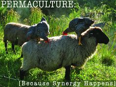 """""""Found the chickens riding the sheep as the sun rose, nabbing each fly that landed on them or emerged from their fleece."""" -Whole Systems Design, LLC"""