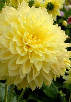 Old House Gardens Heirloom Bulbs - Kelvin Floodlight Dahlia (3-5'), (this color is beautiful!)