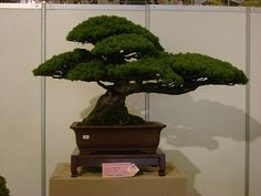 Bonzai Tree, maybe we could make the photo tree in this kind of shape