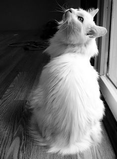 Cute white Turkish Angora or Ankara cat... click on pic to see more