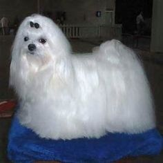 purebred dog Images -Maltese - Yahoo Image Search Results