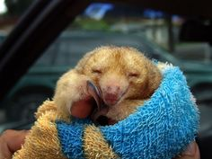 {silky anteater} being kept safe and warm until returned to the wild; positively adorable creature!