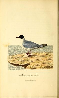 v.1 - British ornithology : 1821 Biodiversity Heritage Library | black headed sea gull