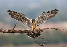 peregrine falcon (photo by jerry ting)