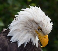 Bald Eagle 2 (by Douglas Brown)