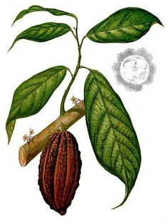 Image result for cacao plant