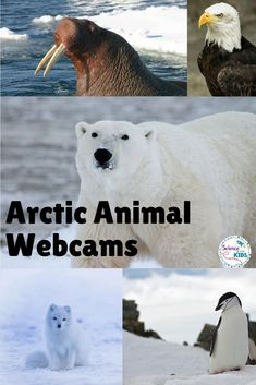 Learn about Arctic Animals with webcams. Polar bears, Arctic hare, orcas, puffins and walruses can be viewed through these webcams. There are a lot of activities and printables about Arctic Animals in this post! Learn more about the Arctic habitat with yo Winter Activities, Science Activities, Preschool Winter, Science Ideas, Animal Activities For Kids, Science Experiments, Arctic Habitat, Artic Animals, Arctic Tundra Animals