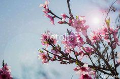 peach flowers on blue sky