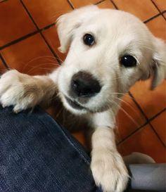 Maya!!! 😁😍🐶🙈  #Pet #Puppy #GoldenRetriever #Dog