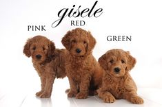 Three of our beautiful Red Teddy Bear Goldendoodles!!!    #goldendoodle, #puppy, #puppies  www.teddybeargoldendoodles.com