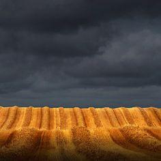 Golden swaths of wheat
