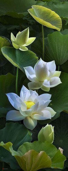 lotus by duongquocdinh.deviantart.com on @DeviantArt