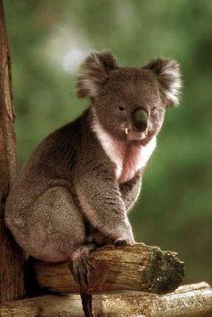 19 Best Drop Bears images in 2015 | Drop bear, Bears, Koala