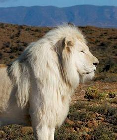 León albino.