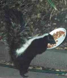 Image on my article What to Feed Your Pet Skunk