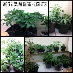 Medical Marijuana Home Grow Veg Room with a variety of cannabis strains including BC God, Afgani, Dieseltonic, Purps and an unknown outdoor sativa.    growing weed, marijuana growing, juiced cannabis