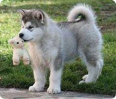 alaskan malamute puppie (Togiak Sausimayok & Aditi Austrian Wolf) www. Alaskan Dog, Alaskan Malamute Puppies, Malamute Husky, Husky Puppy, Fluffy Husky, Fluffy Dogs, Cachorros Del Alaskan Malamute, Greenland Dog, Snow Dogs
