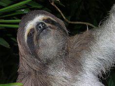 Panama Photo Gallery: Panama Three-Toed Sloth