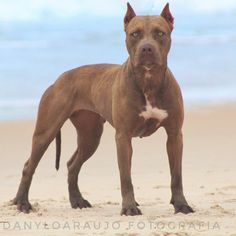 Moana Toodles, 3 years old Breed ➡️ AMERICAN PIT BULL TERRIER From @apk.kennel Brazil  .. ..📸 @sddanyloaraujo @dedellaaraujo  Apoio: @cek_pitbull @fbs_sousa American Pit, Pitbull Terrier, Moana, John Wick, Pit Bull, Year Old, 3 Years, Brazil, Dogs
