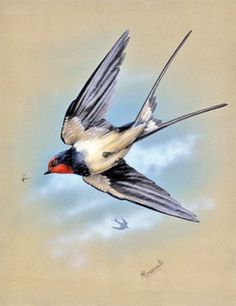 Hahnemuhle PHOTO RAG Fine Art Paper (other products available) - A swallow (Hirundo rustica) in flight. Painting by Malcolm Greensmith - Image supplied by Mary Evans Prints Online - Fine Art Print on Paper made in the UK Barn Swallow, Swallow Bird, Fine Art Prints, Canvas Prints, Framed Prints, Swallow Tattoo, Bird Drawings, Bird Art, Photographic Prints