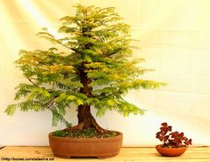 The first year of this tree in a bonsai pot and I already have a feeling that this is going to be a great Bonsai. Do you agree? http://bonsai.correiadasilva.net/en/bonsai-care-how-to-do/2013/256-a-bonsai-tree-per-day-metasequoia-2013-06-12