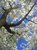 Love Dogwood trees.