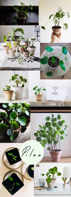 Pilea is the most populair plant on Instagram right now! I see why!